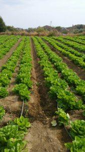 Alion Vegetables & Fruits Ltd. Limassol Cyrpus
